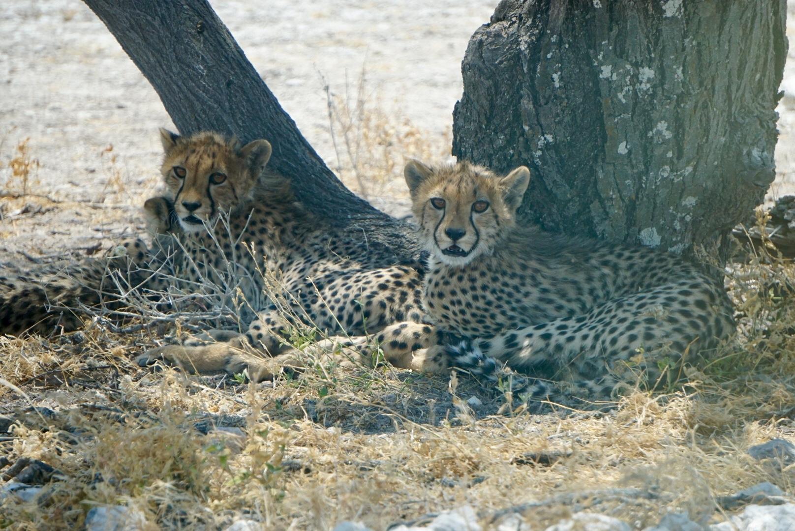 Drei junge Geparde im Etosha Nationalpark.