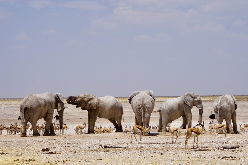 Eine Gruppe Elefanten im Etosha Nationalpark.