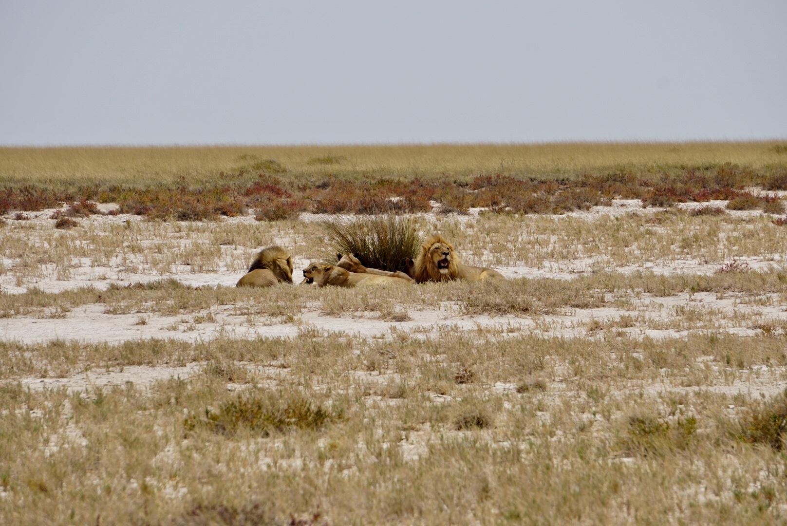 Eine Gruppe Löwen im Etosha Nationalpark.