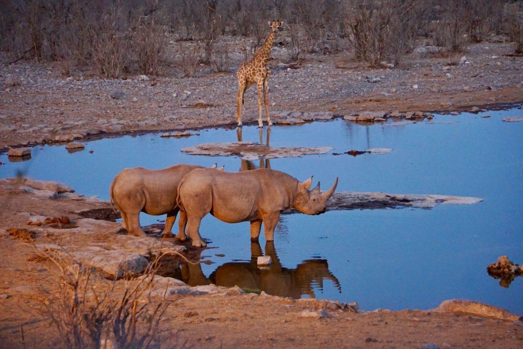 Nashörner im Etosha Nationalpark. An einem Wasserloch.