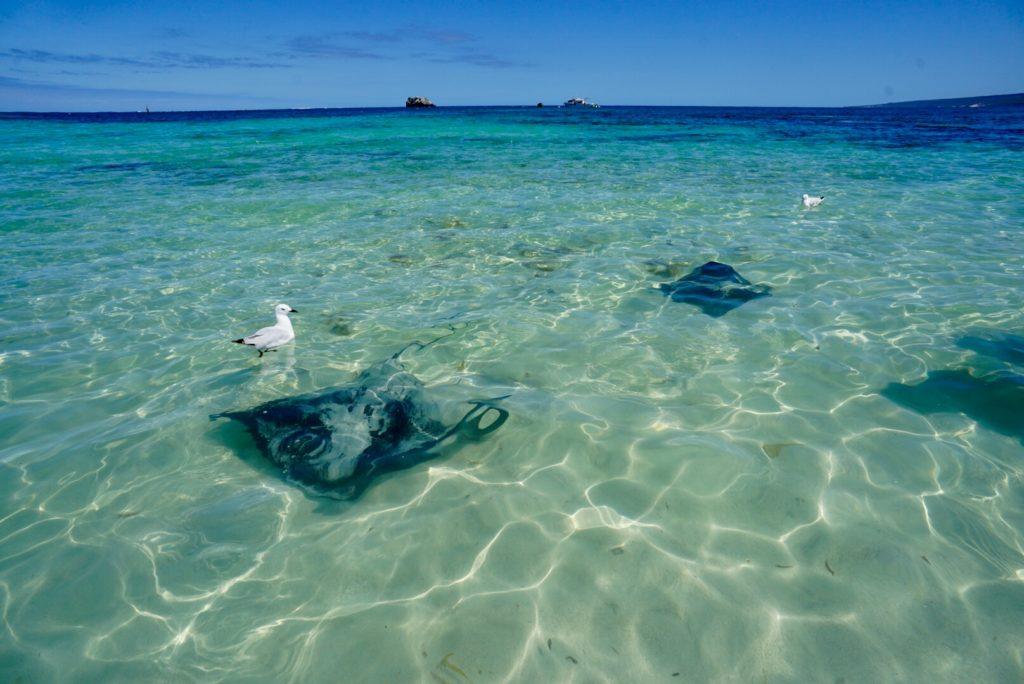 Australiens Südwesten - Hamelin Beach - Rochen