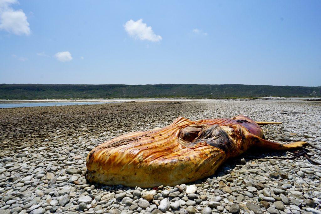 Ein toter, gestrandeter Wal bei Kap Agulhas, Garden Route, Südafrika