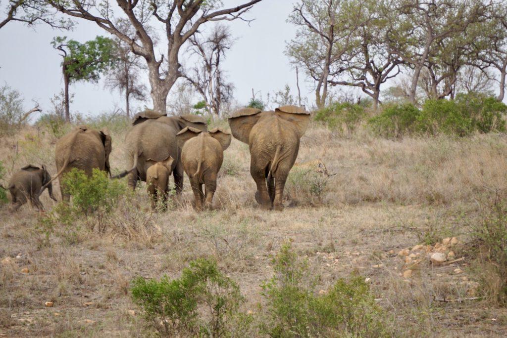 Elefanten vertreiben einen Gepard im Kruger National Park