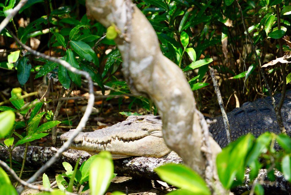 Krokodil im Daintree Regenwald
