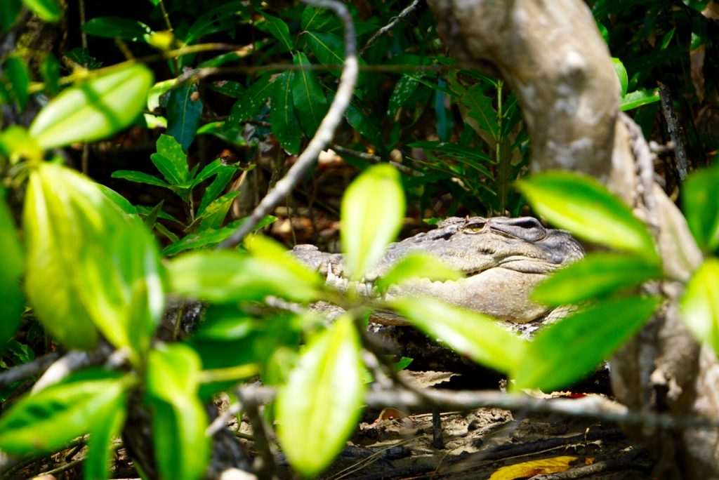 Ein Salzwasser-Krokodil versteckt sich im Daintree Regenwald