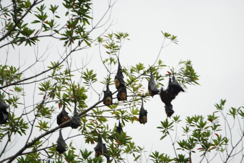 Flughunde im Daintree Regenwald entspannen auf einem Baum