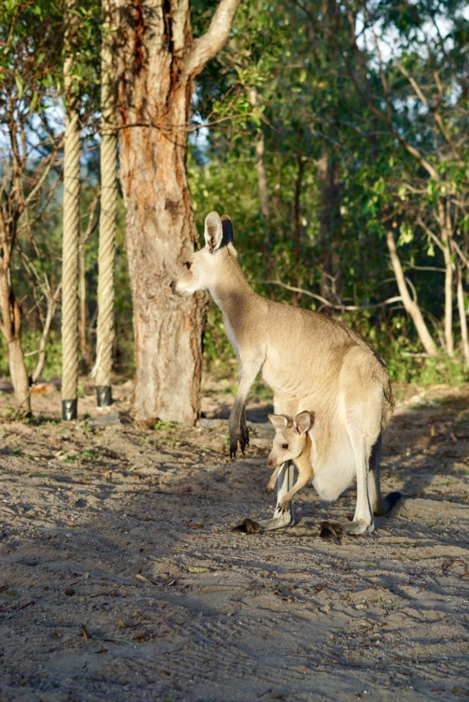 Camping mit Kängurus - Mutter mit Jungtier