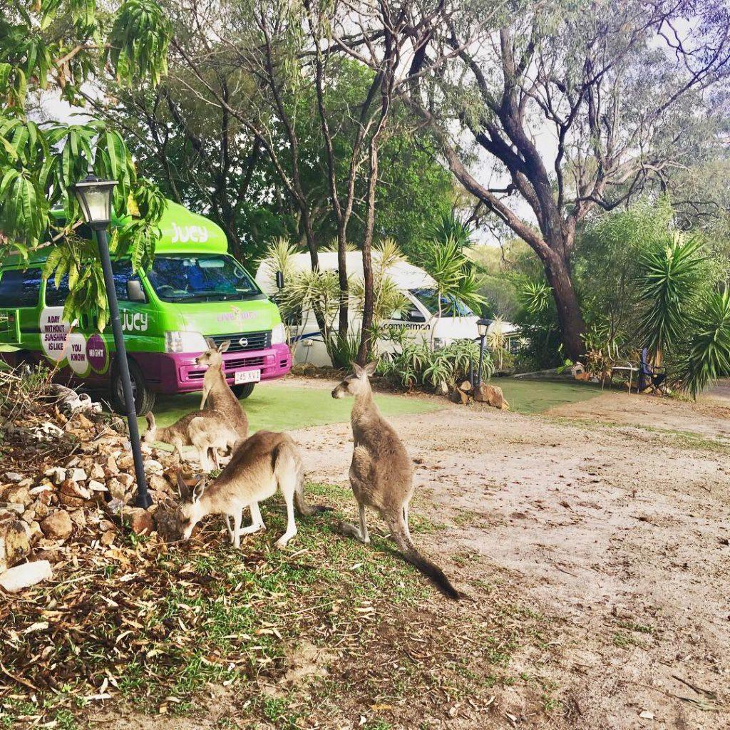 Camping mit Kängurus