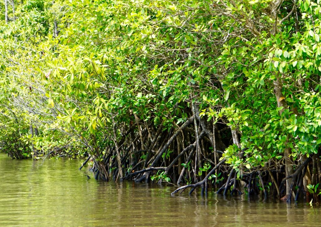 Mangrovensumpf im Daintree Regenwald