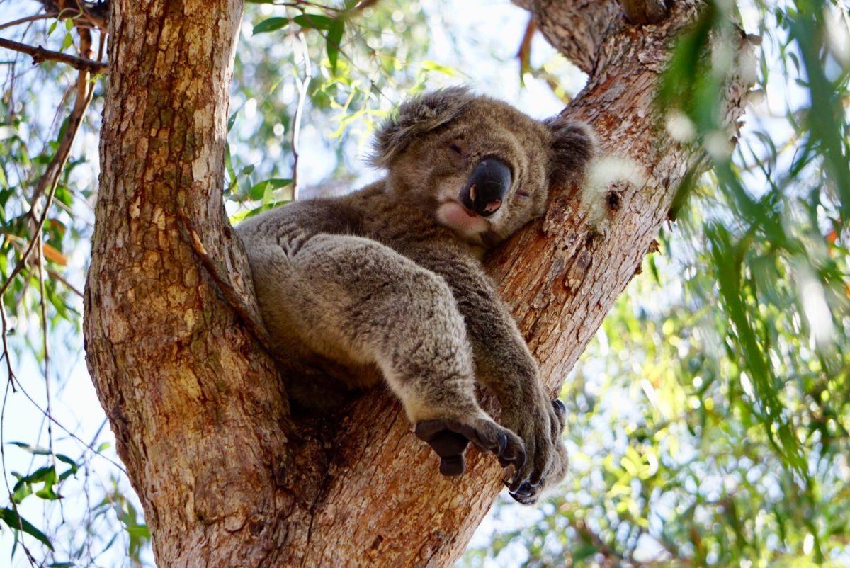 Wilde Koalas in Australien