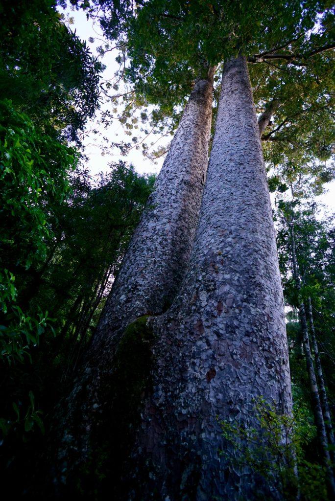 Kauri-Baum auf der Coromandel Halbinsel