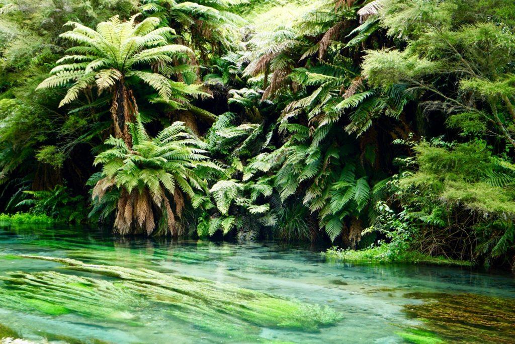Blue Spring, Quelle des Waihou River