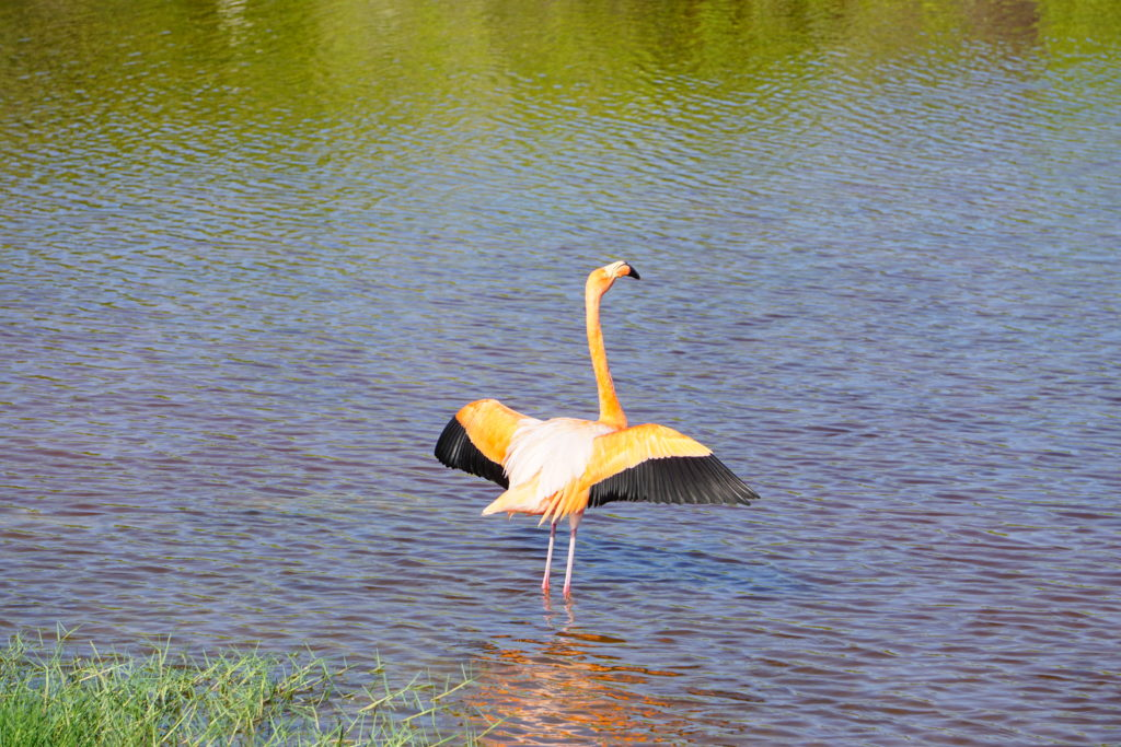 Ein Flamingo sonnt sich auf den Galapagosinseln