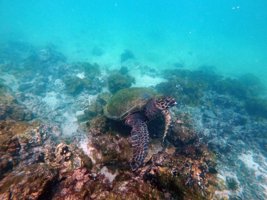 Eine Meeresschildkröte bei Concha de Perla auf den Galapagosinseln